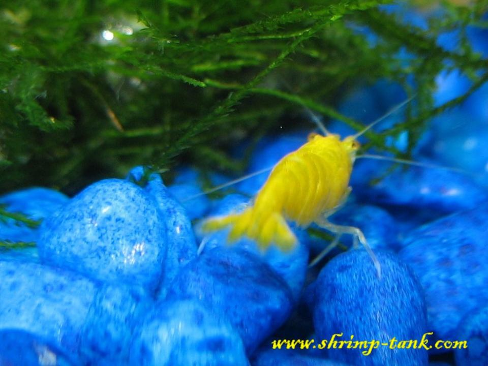 Yellow shrimp photo from behind