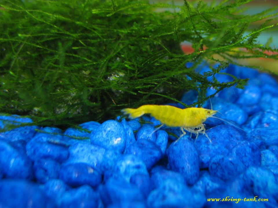 Yellow shrimp near moss stone
