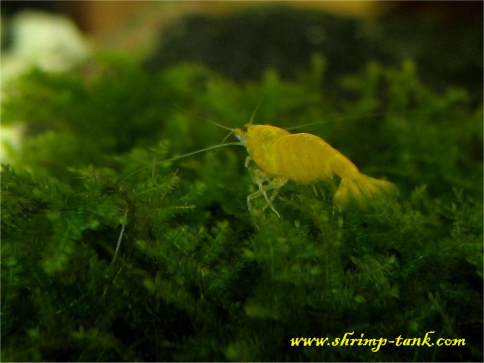 Golden yellow shrimp goes along Taiwan moss bush.
