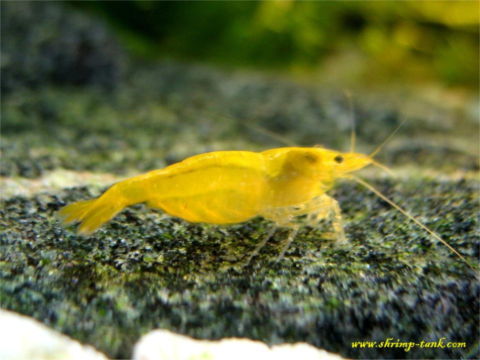 Golden yellow shrimp on a grey stone