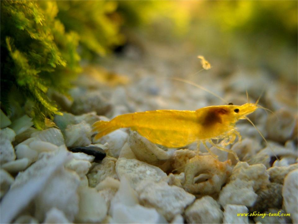 yellow shrimp with a shrimplet