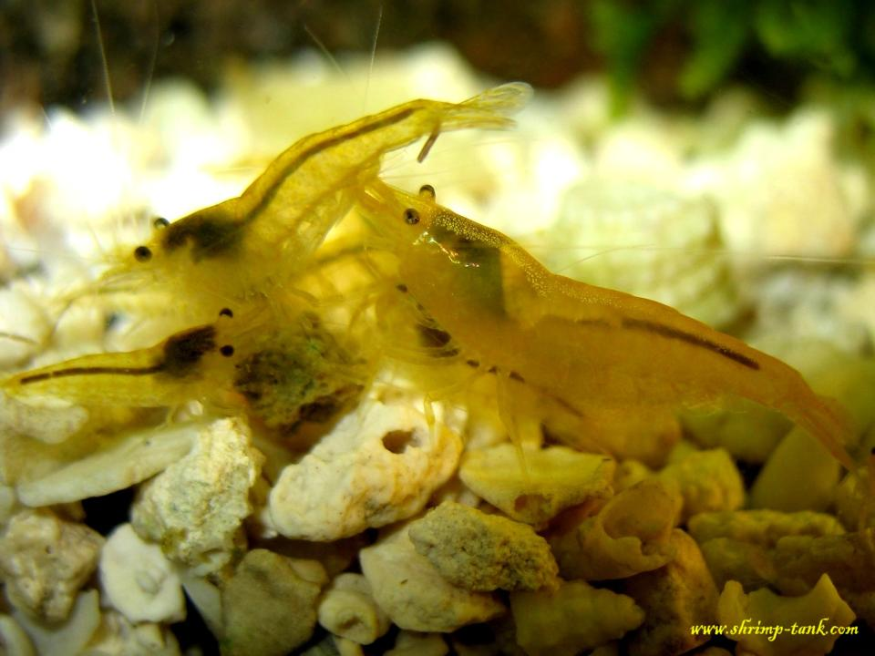Feeding of yellow shrimps