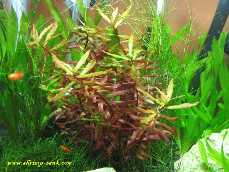 Nesaea red live plant in a Shrimp Cube