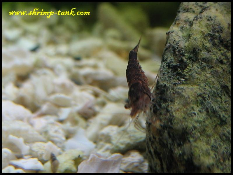 brown caridina holthuisi shrimp