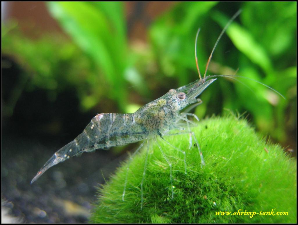 Ghost /glass (Palaemonetes spp.) shrimp